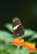 Red Doris Longwing Butterfly standing on lantana flower