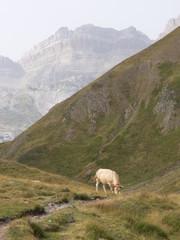 vaca en el pirineo