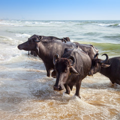 Bathing of a cows