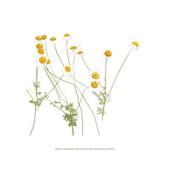 Chamomile flowers illustration on white