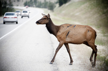 Deer crossing street