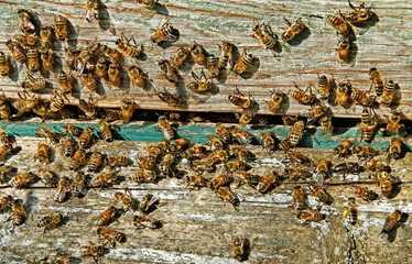 Bees at the entrance.