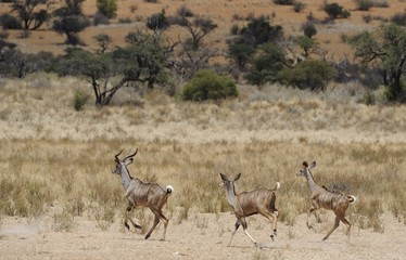 Kudu  (  Tragelaphus strepsiceros)  in the  Kalahari I desert