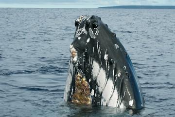 Humpback whale in Tonga, Polynesia Paradise