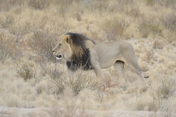 African lion (Panthera leo) in the Kgalagadi. Black maned male