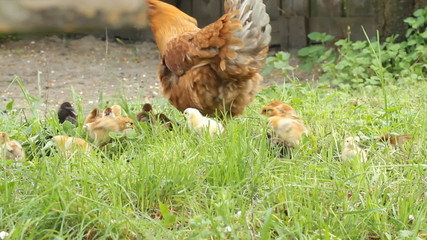 Hen and baby chickens