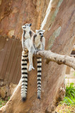Two lovely Lemur sitting on the tree branch