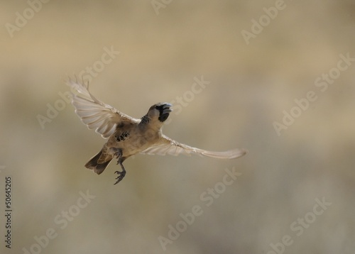 Sociable weaver caught in flight
