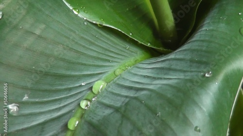 Water drops on banana leaf. 1920x1080. Rain in forest.