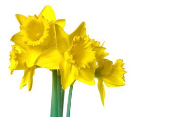 daffodils4