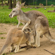 Mother kangaroo and her joey