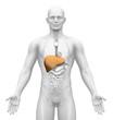 Medical Imaging - Male Organs - Liver