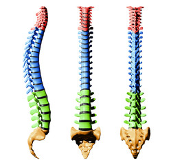 Spine Vertebrae - Color Parts