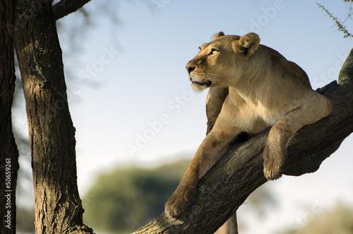 leonessa sull albero con sguardo al cielo