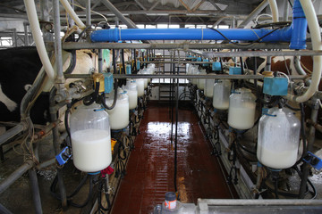 Dairy farm, milking cows