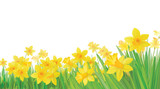 Vector of daffodil flowers isolated.