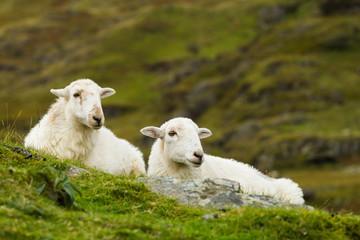 Couple of Sheep
