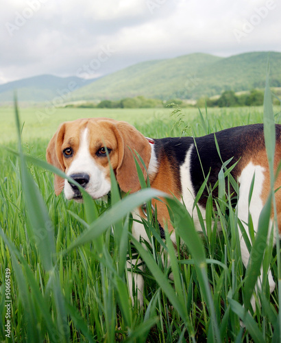 Cute hunting dog