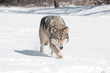 Grey Wolf (Canis lupus) Runs Along Snowy Riverbed with Tongue Ou