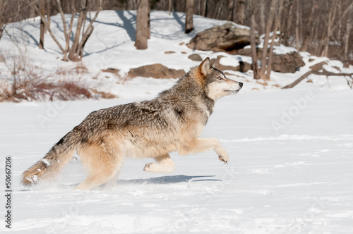 Grey Wolf (Canis lupus) Leaps