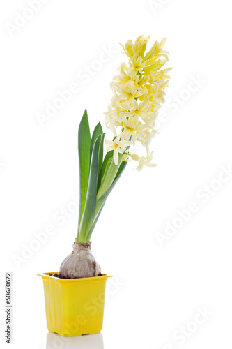 yellow hyacinth