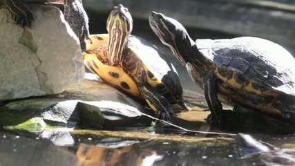turtles overcrowding at the sun