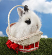 Lovely white rabbit in basket on green grass