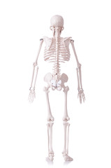 Skeleton isolated on the white