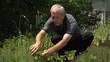 Man cutting fresh basil in his garden