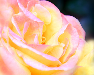 Close-up of pink and yellow rose