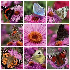collage with butterflies sitting on chrysanthemum