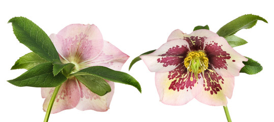 Hellebore front and back