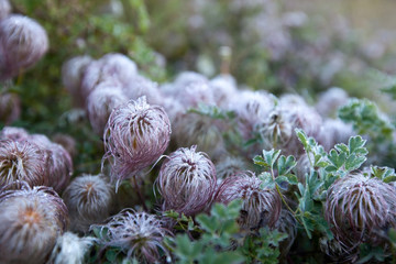 hairy flowers in the garden
