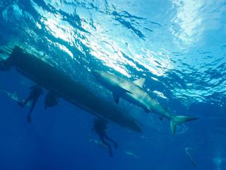 Caribbean reef shark (Carcharhinus perezi) and divers