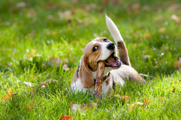 Beagle in green grass