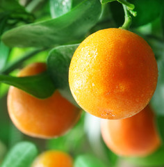 Tangerines on a citrus tree.