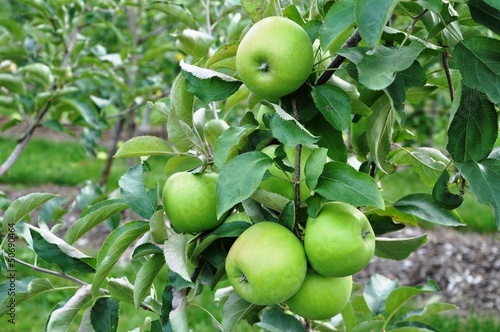 Fresh apple fruit