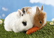 Two rabbits bunnies eat carrot on green grass