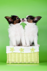 adorably papillon puppies kissing