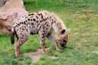 hyenna