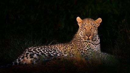 Leopard lying in darkness
