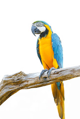 Blue & Gold Macaw isolated on a white background