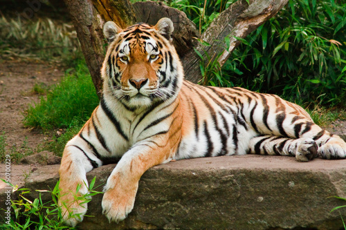 Tygrys syberyjski (Panthera tigris altaica)