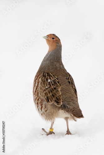 canvas print picture Rebhuhn, Grey partridge, Perdix perdix