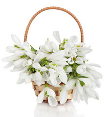 Bouquet of snowdrop flowers in basket  isolated on white backgro