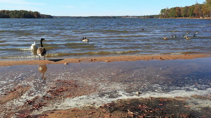 Low angle view from the shore of swimming geese
