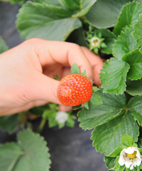 hand holding strawberry fruit