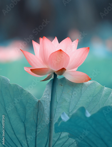 Fotobehang Lotusbloem blooming lotus flower