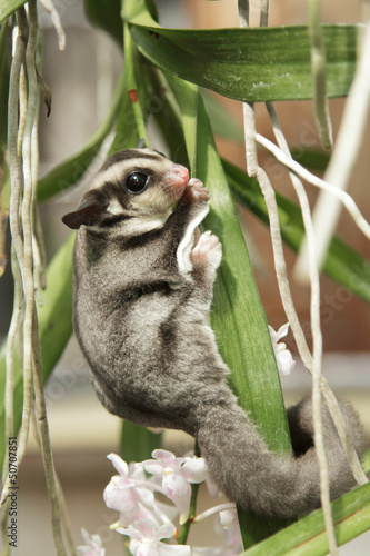 sugarglider climb on the tree