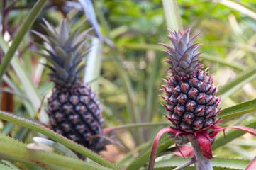 Two fresh growing pineapples
